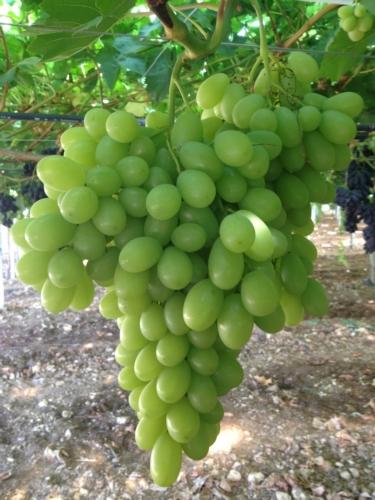 agricoper-uva-sunshine.jpg