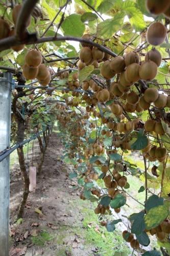 agrintesa-kiwi-actinidia