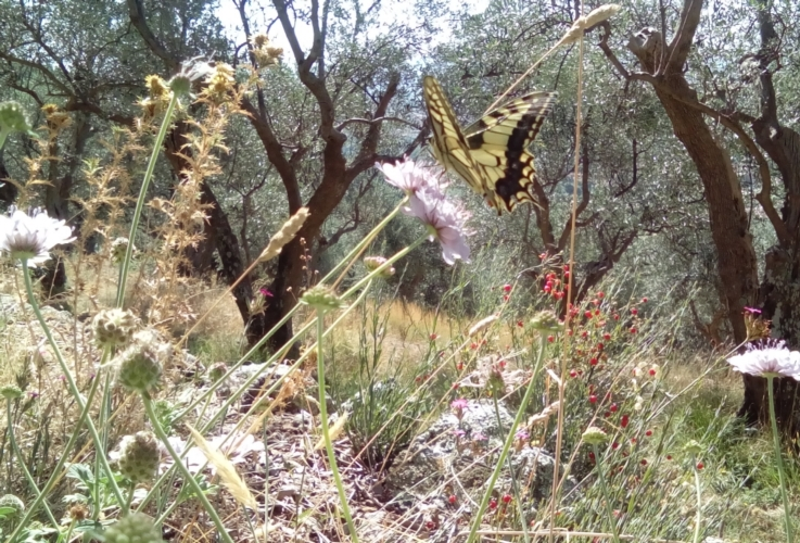 agroecosistema-uliveto-biodiversita-by-scuola-santanna-pisa-jpg