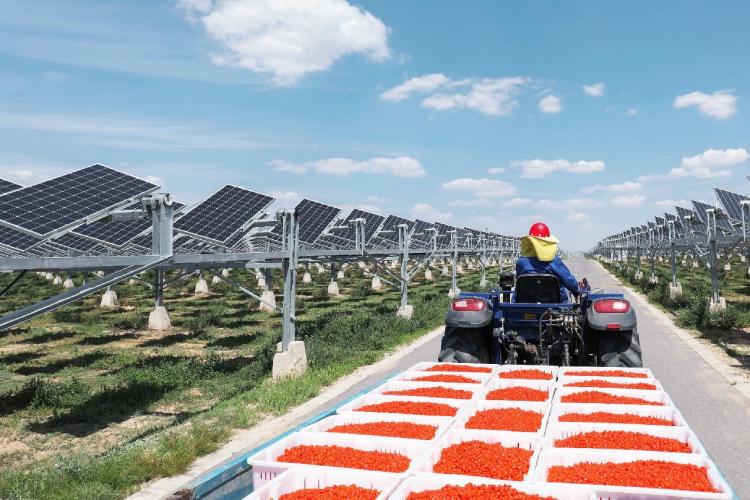 I mirtilli ora crescono (bene) sotto i pannelli fotovoltaici - Plantgest news sulle varietà di piante