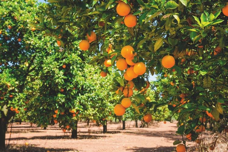 alberi-arance-fonte-istock-160586110.jpg