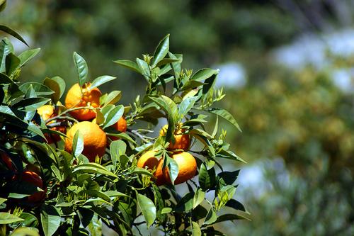 albero-alberi-frutta-agrumi-byflickrcc20-Allie_Caulfield.jpg