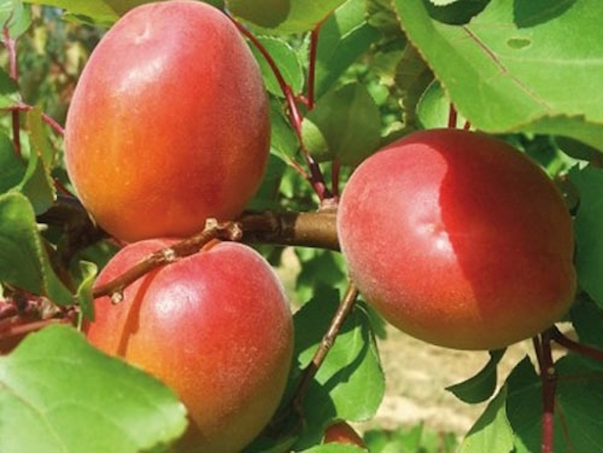 Le albicocche di Escande sono sempre più buone e belle - Plantgest news sulle varietà di piante