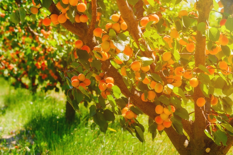 albicocco-albicocche-albicocchi-frutta-estiva-drupacee-by-dmytro-sukharevskyi-adobe-stock-750x500.jpeg