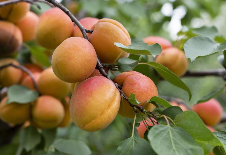 Albicocco, una vera frutticola - Plantgest news sulle varietà di piante