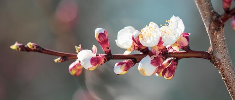 albicocco-fiori-by-schankz-adobe-stock-750x319.jpeg
