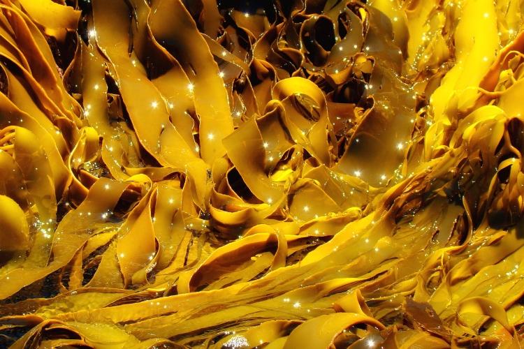 alga-kelp-wikipedia