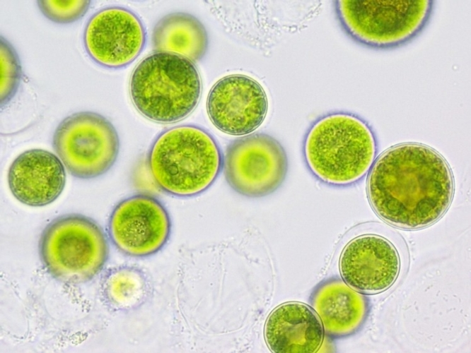algae-qualitas-health