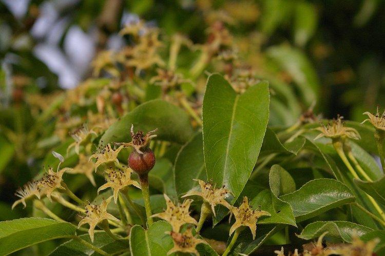 allegagione-sviluppo-frutti-albero-di-pero-pera-fonte-kerstin-riemer-via-pixabay.jpg