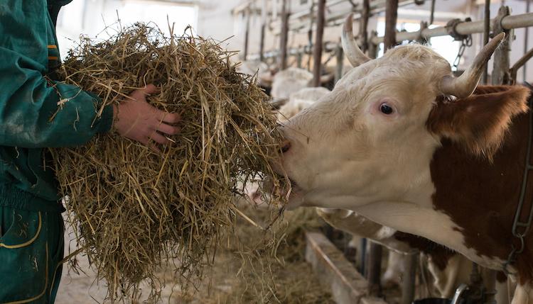 allevamento-bovini-by-budimir-jevtic-adobe-stock-750x429