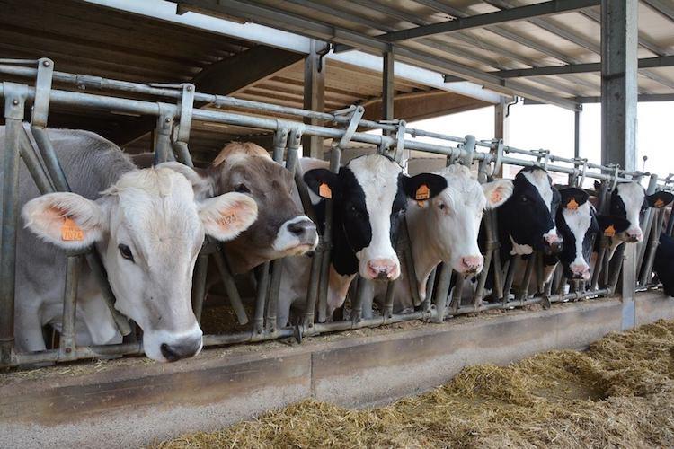 allevamento-bovini-fonte-timazootec