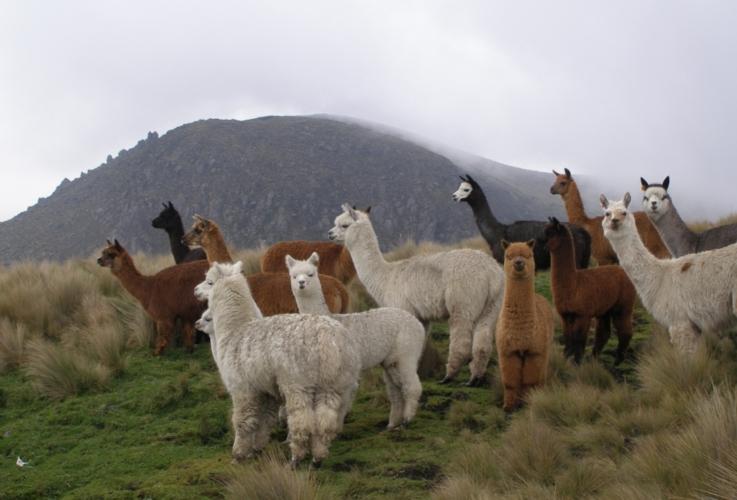 alpaca-camelidi-lana-by-philippe-lavoie-wikimedia-jpg