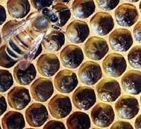 alveare-ape-foto-uniud