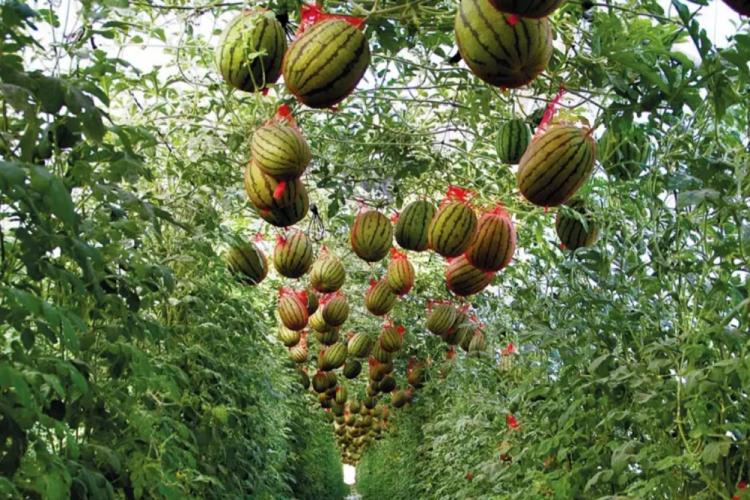 Quando le angurie crescono in verticale - Plantgest news sulle varietà di piante