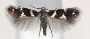 antispila-oinophylla-female-fonte-wikipedia.jpg