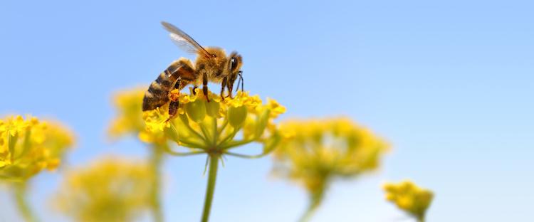 ape-api-impollinazione-apicoltura-by-viperagp-fotolia-750