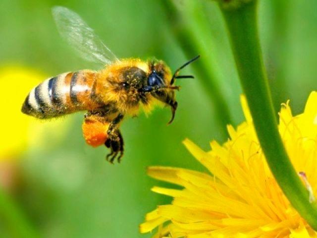 ape-corso-apicoltura-multifunzionale-fonte-fritegotto.jpg