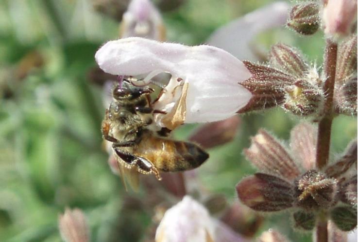 ape-fiore-apicoltura-by-matteo-giusti-agronotizie-jpg