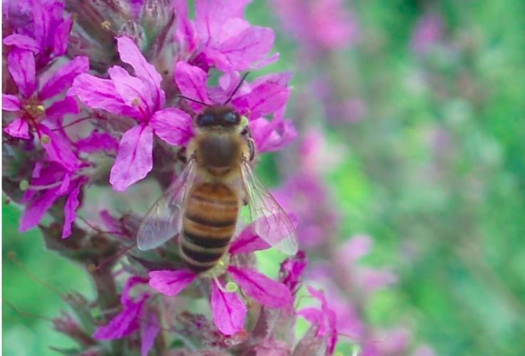 ape-fiore-impollinazione-by-matteo-giusti-agronotizie-jpg.jpg