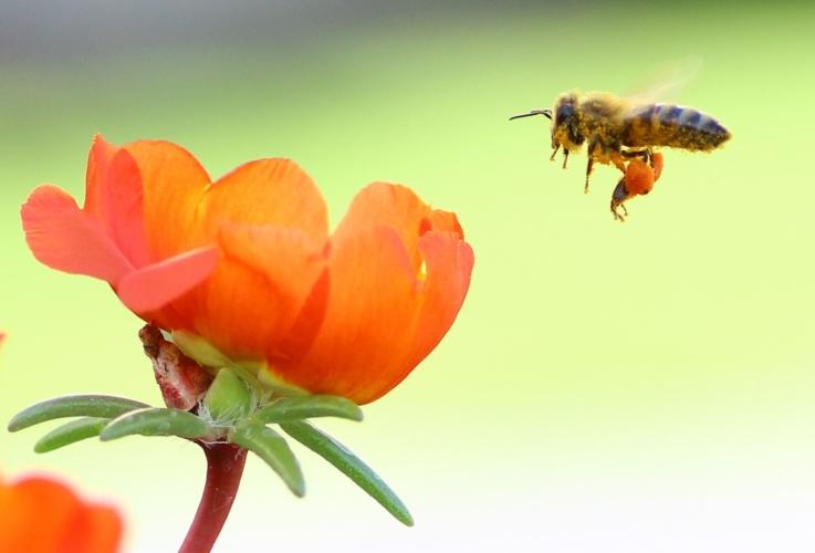 ape-fiori-apicoltura-api-by-mer-nl-wikimedia-jpg.jpg
