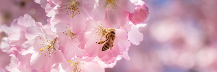 ape-fiori-rosa-by-haiderose-adobe-stock-750x250