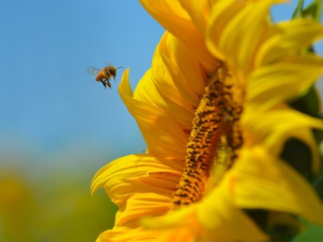 ape-girasole-impollinazione-by-laura-bortolotti-crea-api.jpg