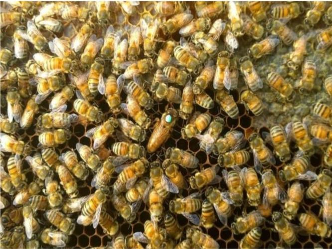 ape-regina-ligustica-by-aiaar-jpg