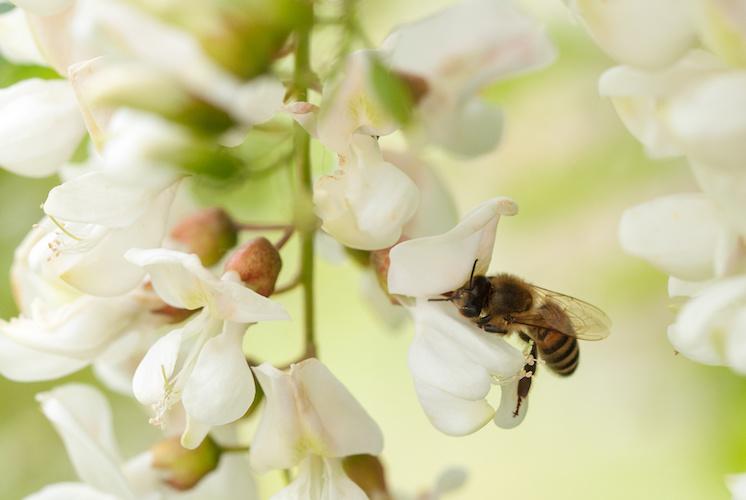 ape-su-fiore-acacia-by-bettapoggi-adobe-stock-746x500