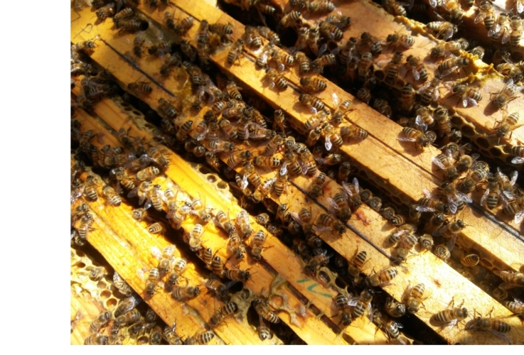 api-alveare-apicoltura-by-matteo-giusti-agronotizie-jpg