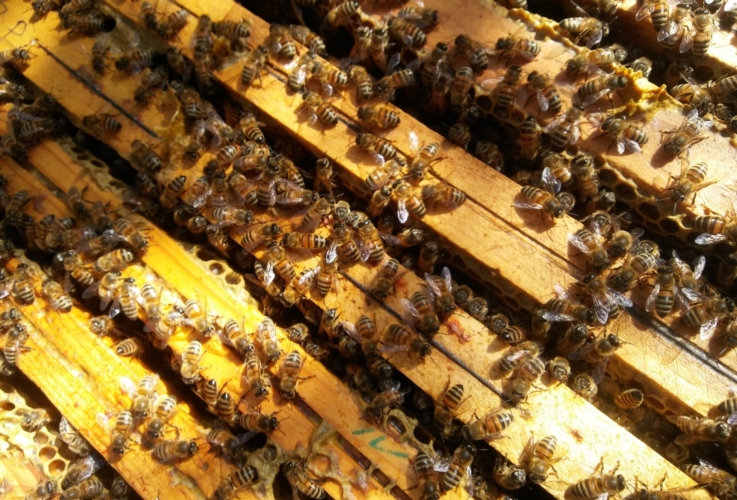 api-alveare-apicoltura-by-matteo-giusti-agronotizie-jpg1