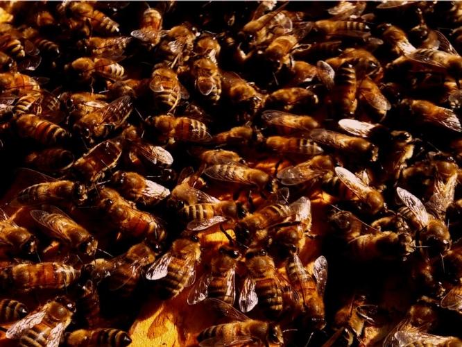 api-alveare-dettaglio-by-matteo-giusti-agronotizie-jpg