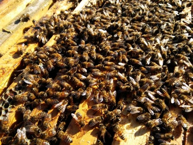 api-alveare-favi-by-matteo-giusti-agronotizie-jpg
