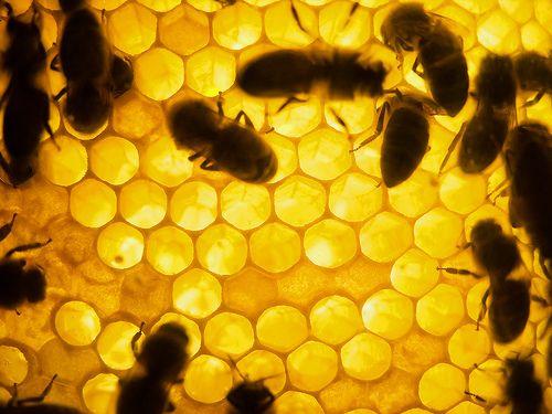 api-alveare-miele-byflickrcc20-davidnikonvscanon-500