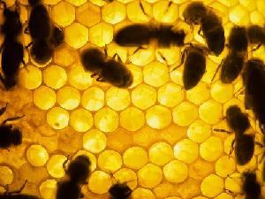 api-alveare-miele-byflickrcc20-davidnikonvscanon-5001