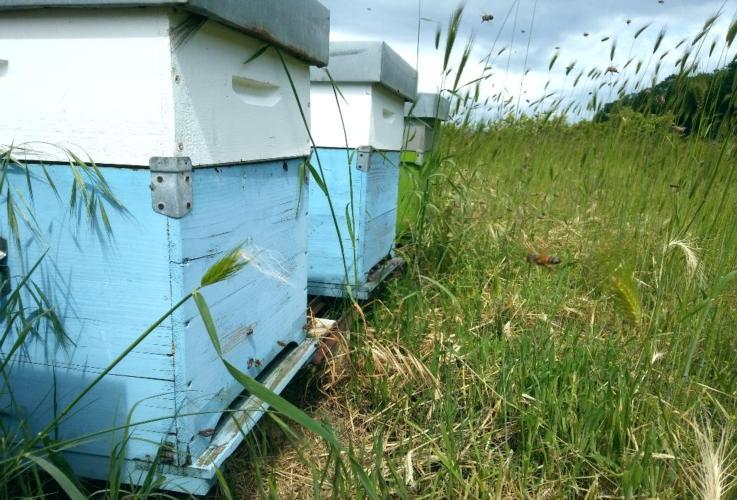 api-alveari-apiario-apicoltura-by-matteo-giusti-agronotizie-jpg
