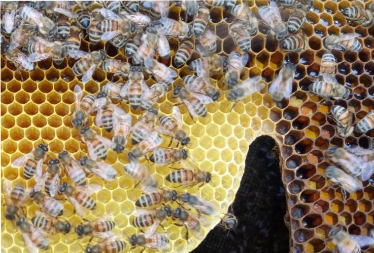 api-apicoltura-alveare-by-matteo-giusti-agronotizie-jpg.jpg