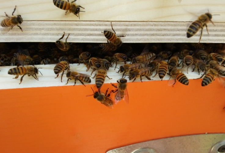 api-apicoltura-arnia-alveare-by-matteo-giusti-agronotizie-jpg