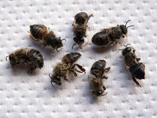 api-con-ali-deformi-a-causa-del-virus-varroa-destructor.jpg