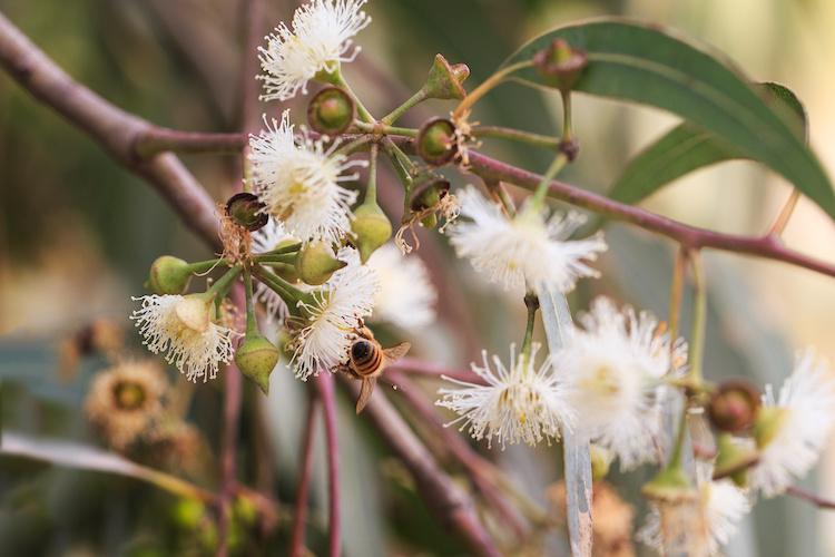 L'eucalipto, alternativa al bambù per l'ambiente mediterraneo - Plantgest news sulle varietà di piante