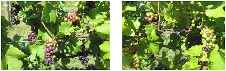 L'Ascophyllum nodosum per migliorare la maturazione fenolica delle uve a bacca nera - le news di Fertilgest sui fertilizzanti