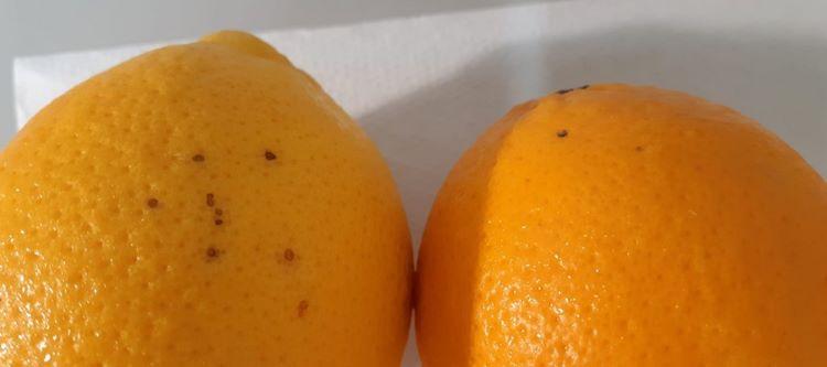 arance-colpite-da-phyllosticta-citricarpa-25-set-2020-regione-campania.jpg