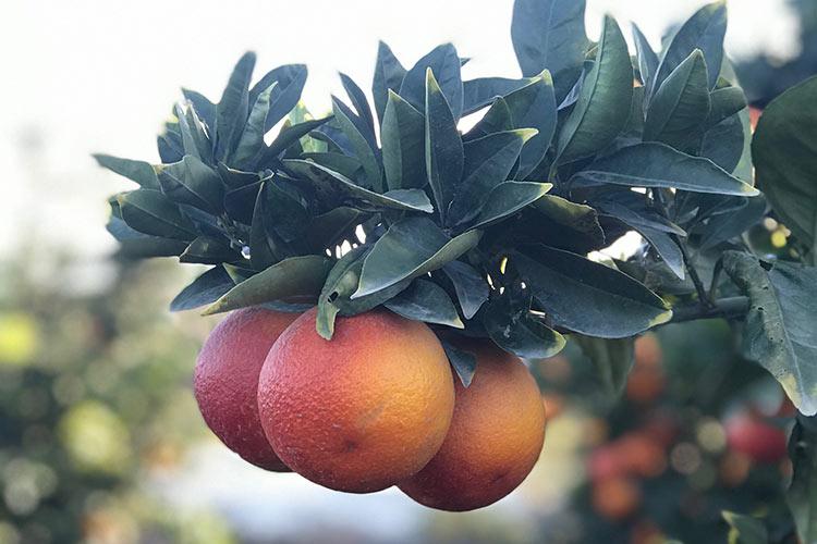 Agrumi, tra varietà e difesa - Plantgest news sulle varietà di piante
