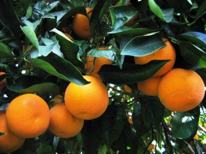 Risultati immagini per foto agrumi sicilia