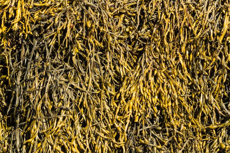 ascophyllum-nodosum-by-fatmanphotouk-adobe-stock-750x500