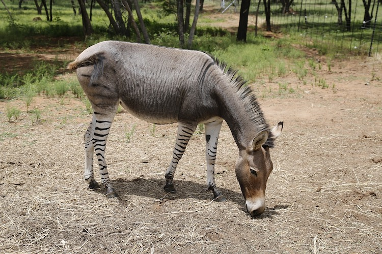 asino-zebrato-africa-fonte-dorte-tang-pixabay.jpg