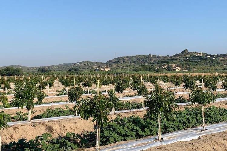 Avocado al posto di olivi colpiti da Xylella? Perché no - Plantgest news sulle varietà di piante