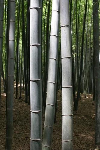 bambu-gigante-wikipedia