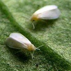 belchim-mosca-bianca-teppeki