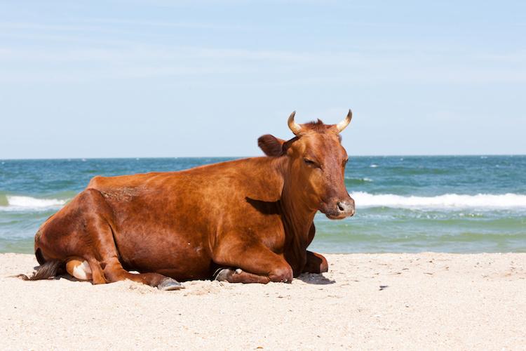 benessere-animale-bovini-bovino-spiaggia-mare-by-agphotographer-fotolia-750.jpeg