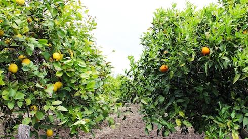Biorfarm adotta un albero a distanza e ricevi i frutti a for Alberi da frutto prezzi